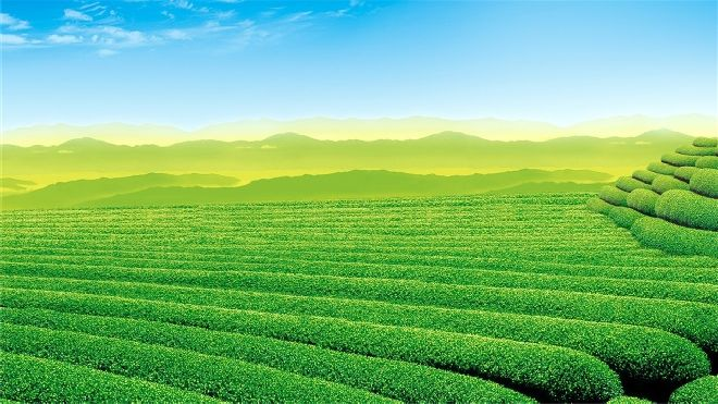 Green tea garden PowerPoint backgrounds_Best PowerPoint ...
